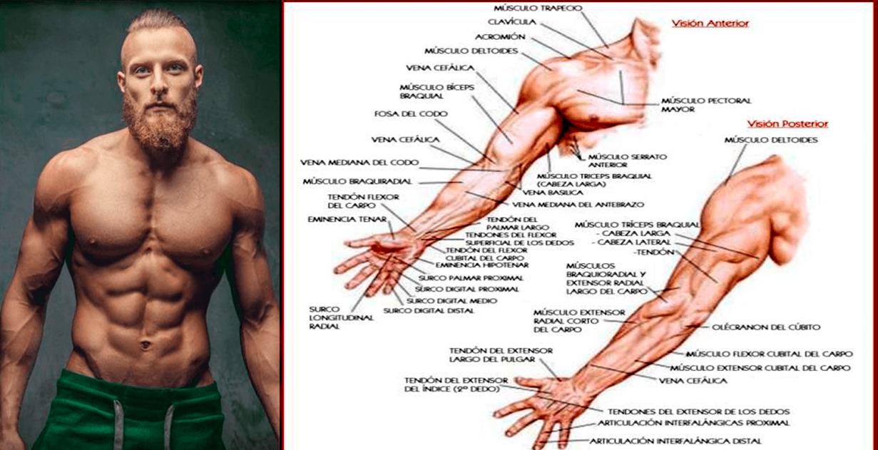 anatomia brazo